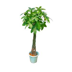 商业用花/发财树: 发财树,由于自然生长问题每株均有其自然特色,以
