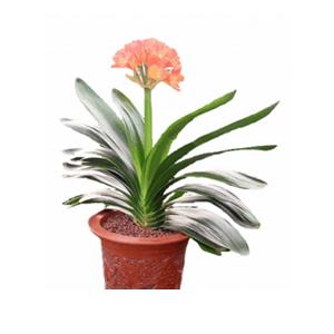 商業用花/君子蘭: 優質君子蘭一盆綠植需提前一天訂購,由于自然生長