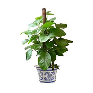 商業用花/大葉綠蘿: 綠蘿高1.5米,由于自然生長問題每株均有其自然