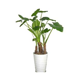 商業用花/滴水觀音: 滴水觀音,(由于生長年限不同,高度和根的粗度都