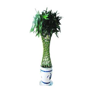 商业用花/富贵竹笼: 富贵竹笼,由于自然生长问题每株均有其自然特色,