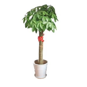 商业用花/精品发财树: 发财树,由于自然生长问题每株均有其自然特色,以