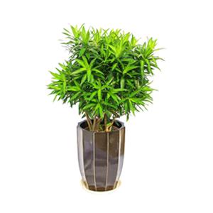 商业用花/百合竹: 百合竹,由于自然生长问题每株均有其自然特色,故
