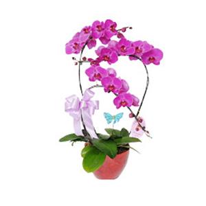 商業用花/蝴蝶飛: 蝴蝶蘭三株(由于自然生長問題每株均有其自然特色