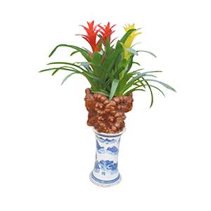 商业用花/吉星高照: 星凤梨,3株。(由于自然生长问题每株均有其自然