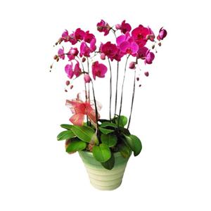商業用花/蘭中皇后: 蝴蝶蘭七株(由于自然生長問題每株均有其自然特色