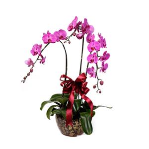 商業用花/春暖歡歌: 蝴蝶蘭三株(由于自然生長問題每株均有其自然特色