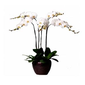 商業用花/五福臨門: 5株白色一品蝴蝶蘭(開花期3個月以上。由于自然