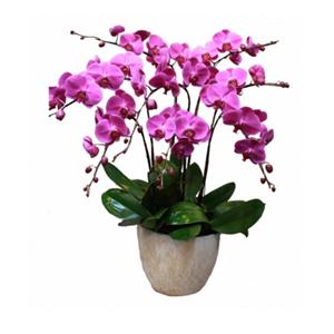 商業用花/八方來財: 8株紅色一品蝴蝶蘭(開花期3個月以上。由于自然
